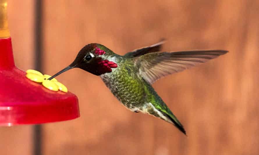 An Anna's hummingbird feeding from an artificial flower