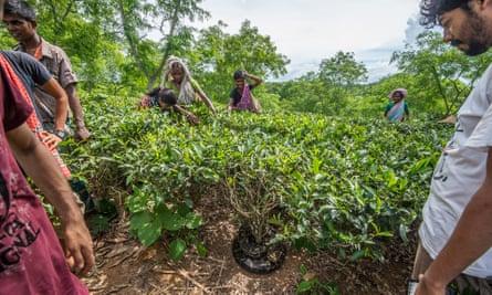 A Burmese python found coiled up in a tea plantation in Bangladesh.