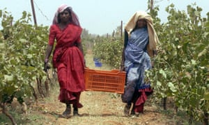 Indian workers carry grapes