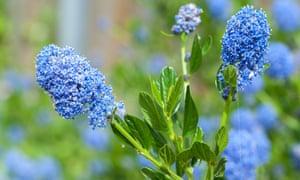 Blue blossom of the evergreen Ceanothus 'Concha'.
