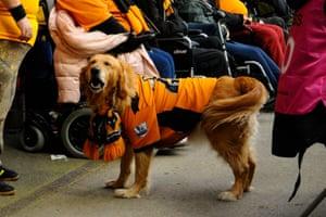 A golden retriever wears a Wolves shirt before their match with Bristol City