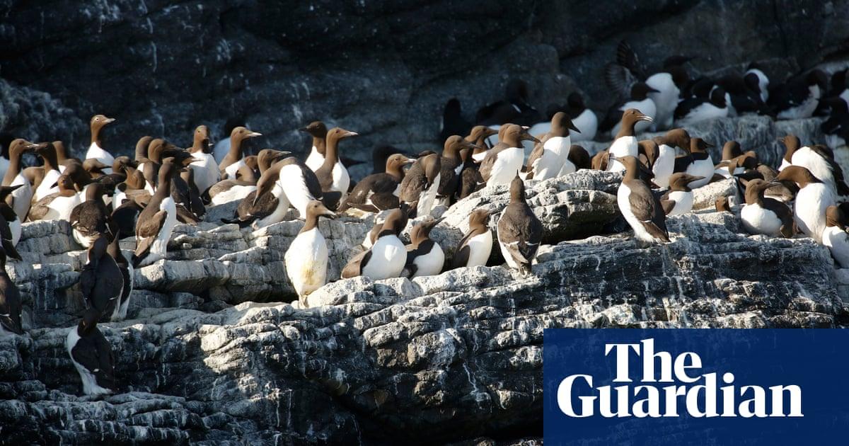 Scientists investigate hundreds of guillemot deaths on UK coastline