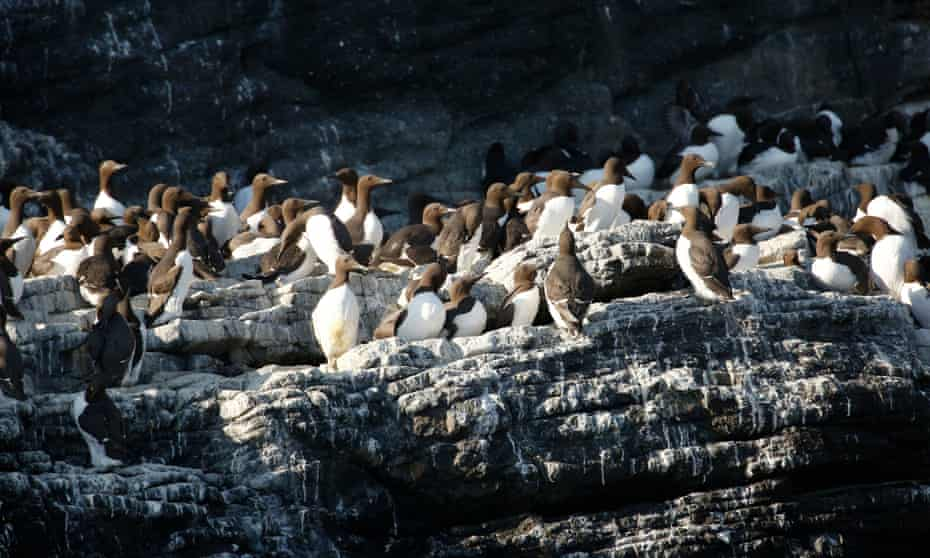 Guillemots on the Isle of May in the Firth of Forth, Scotland