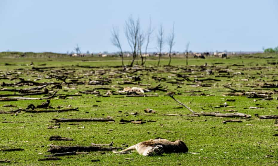 Animal carcasses and dead trees litter the landscape of Oostvaardersplassen