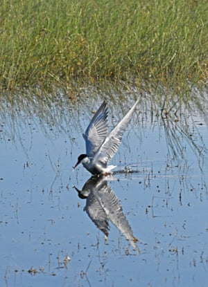 A whiskered tern hovers