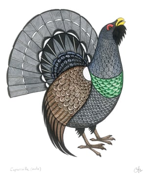 Capercaillie by illustrator Caroline Daly