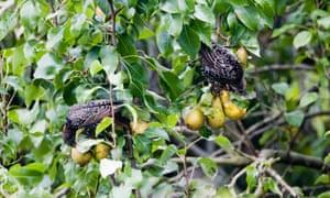 Starlings feeding on ripe fruit in a pear tree.