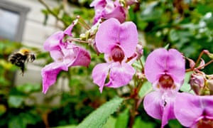 Himalayan balsam with carder bee