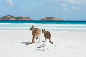 Kangaroos enjoy the pristine white sand of Lucky Bay, Esperance, Australia