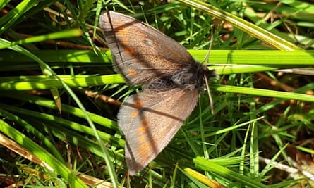 Steve Banks and his 9-year-old son Ralf captured this Mountain Ringlet butterfly while on Rampsgill Head above Haweswater.