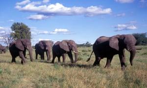 Wild African elephants in Zimbabwe