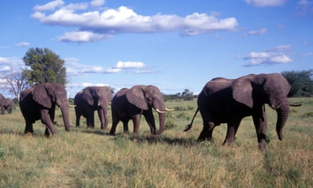 African elephants in Zimbabwe. A father and son were killed on an anti-poaching patrol.