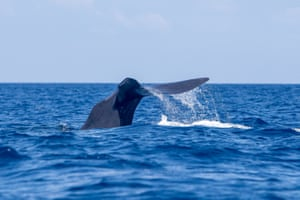 Sperm whales (Physter macrocephalus) may be huge, but they're difficult to see.