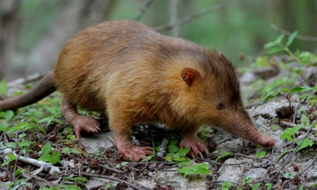 The Hispaniolan solenodon is one of the most unusual mammals on the planet. Notice the small eyes, hairless tail, rusty-orange coloured fur and crazy claws.