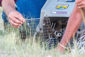 Black-footed ferrets near Meeteetse, Wyoming in the US, being released. The nocturnal species of weasel with a distinctive marking across its eyes has returned to the remote ranchlands.