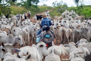 Cowboys transport livestock in Terra do Meio