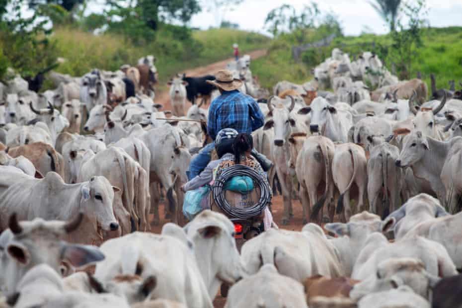 Cowboys transport livestock in Terra do Meio