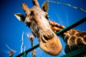 Giraffe leans in close to the camera at Port Lympne, Kent, UK.
