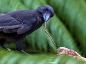 A captive Hawaiian crow using a stick tool to extract food from a wooden log