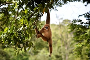 An owa or white-handed gibbon hangs on a tree after being released into Indonesia's wild forest of Sampoiniet, Aceh province