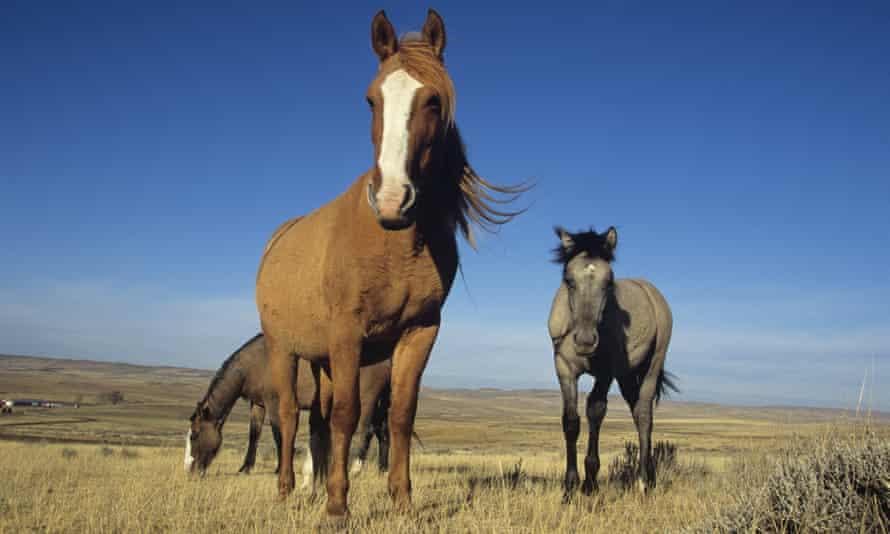 Spanish mustangs (Equus caballus) in Wyoming, USA.
