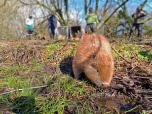 Following years of preparation for their arrival, a pair of beavers were released into a suitable enclosed site in west Dorset.
