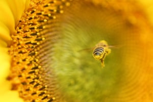 A bee heads for a sunflower to collect pollen near Fresdorf, Germany