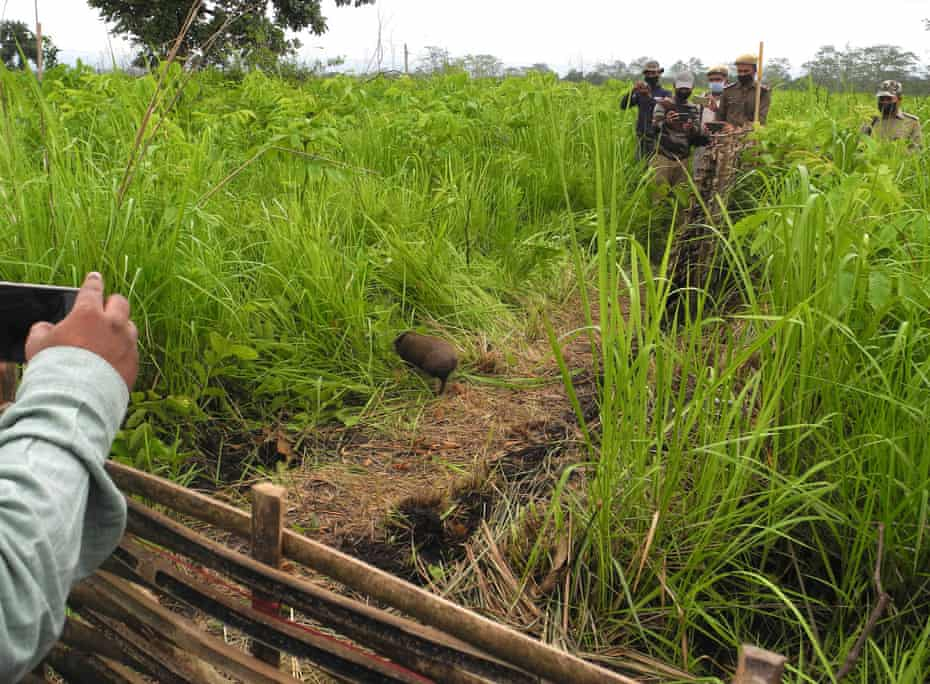 A pygmy hog enters the wild from the release enclosure in Manas reserve.