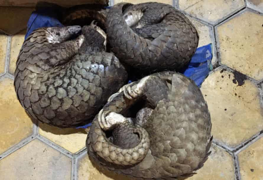 Pangolins smuggled from Laos and found in a bus in Vietnam's Ha Tinh province.