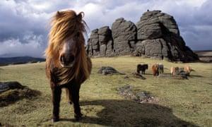 Dartmoor ponies in the UK.