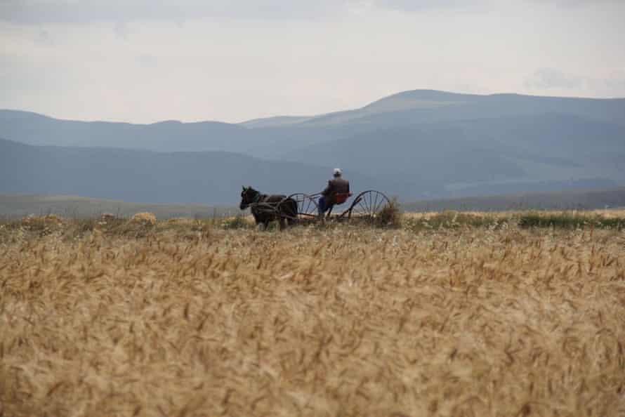 Kavilca wheat in Turkey.