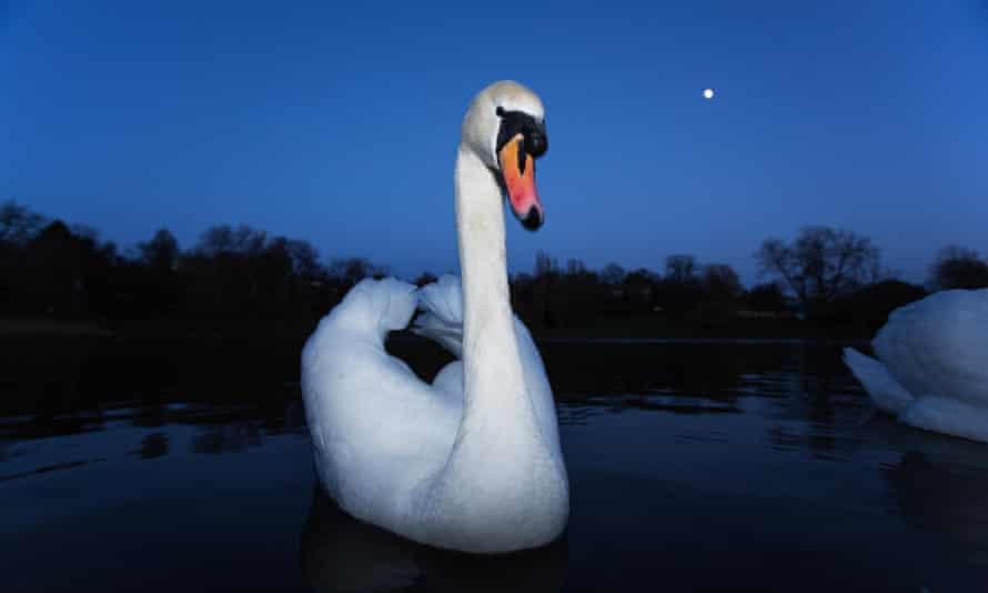A swan on Hampstead Heath