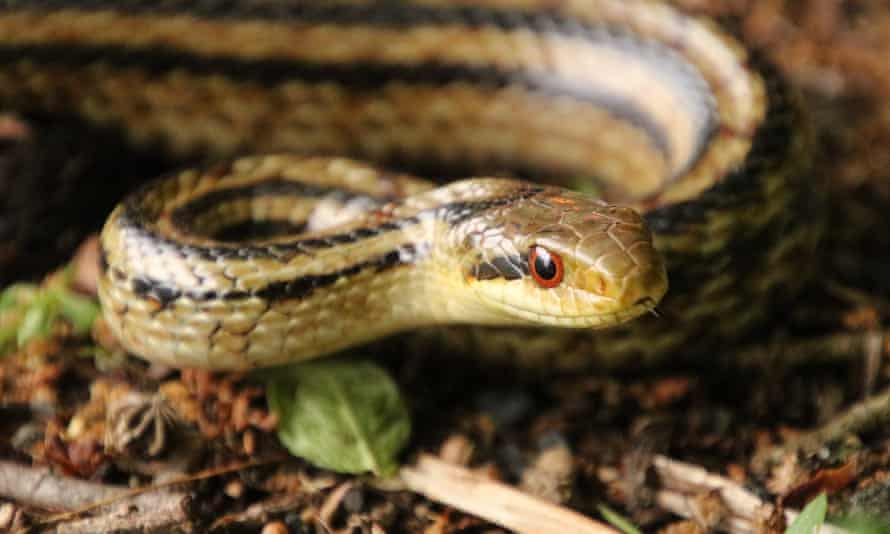 Researchers have used snakes fitted with tracking devices and dosimeters to measure radiation levels in the area around the Fukushima Dai-ichi Nuclear Plant, which suffered triple meltdowns in March 2011.
