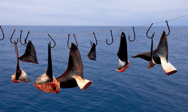 POLL: Should lawmakers pass legislation to end the trade in shark fins?