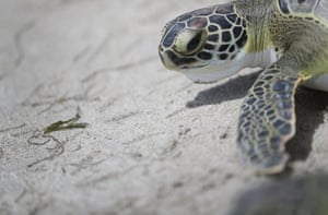 One of five rehabilitated juvenile green sea turtles makes its way to the ocean