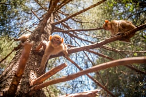 A Barbary macaque in a forest near the Moroccan town of Azrou, in the Atlas mountains