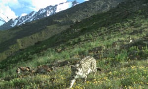 Snow leopard caught in a field of wild flowers on camera trap.