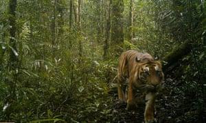 A Sumatran tiger on a camera trap in Hadabaun Hills.
