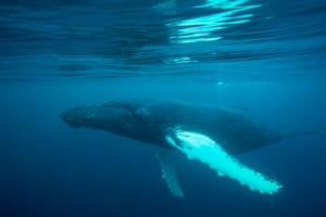 A humpback whale swims under the sea surface in Shetland Islands, Scotland