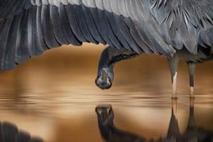 Gray heron (Ardea cinerea) in Hungary