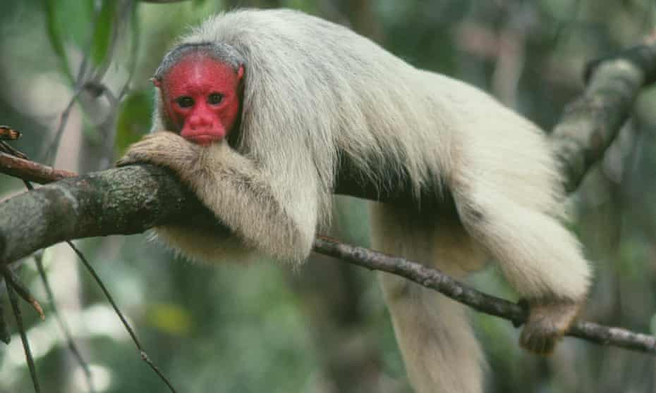 A bald uakari monkey (Cacajao calvus) in the flooded forest of the Amazon in Brazil. The IUCN Red List categorizes this species as vulnerable.