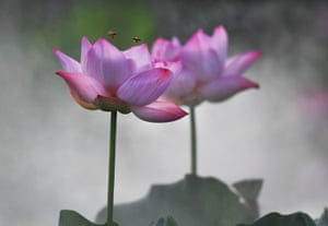 Two bees fly over a lotus flower in Tangshu Township, China