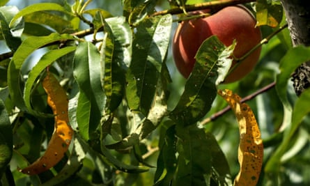 Leaves of Bader Farms' peach trees bear holes and discoloration that the owner believes is the result of drift from illegal applications of the herbicide dicamba on area farms, near Campbell, Missouri.
