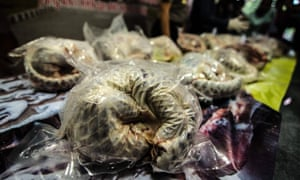 Pangolins seized in East Java, Indonesia