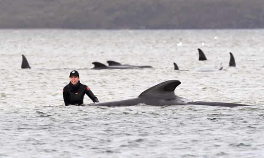 A member of a rescue crew stands with a stranded pilot whale on a sand bar near Strahan in Tasmania