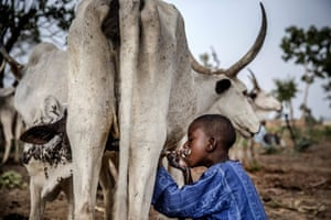 8-year-old Fulani boy Suleiman Yusuf drinks milk from a cow belonging to his father near his family's house at the Kachia Grazing Reserve.
