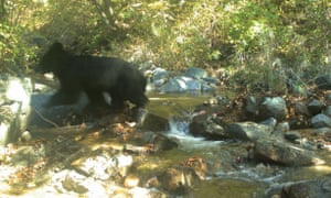 A juvenile Asiatic black bear clambering on rocks next to a stream