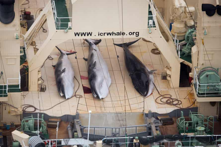 Three dead minke whales on the deck of a ship