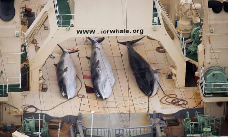 The bodies of protected minke whales on the Japanese ship Nisshin Maru in the Southern Ocean in 2013.