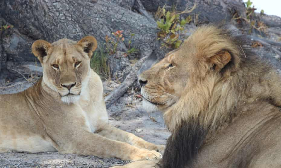 Cecil with a female lion in Zimbabwe